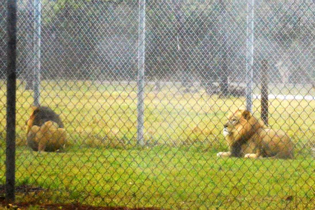 Lion Country Safari Chain Link Fence